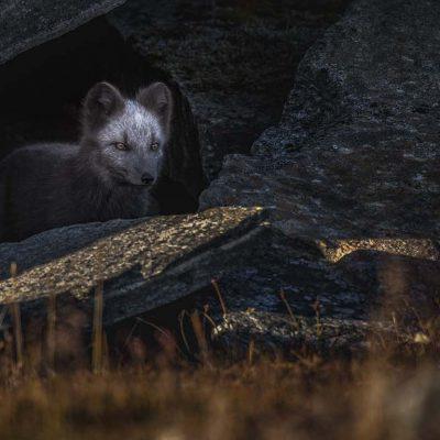 Fjällräv ©Foto: Roger Vikstrom