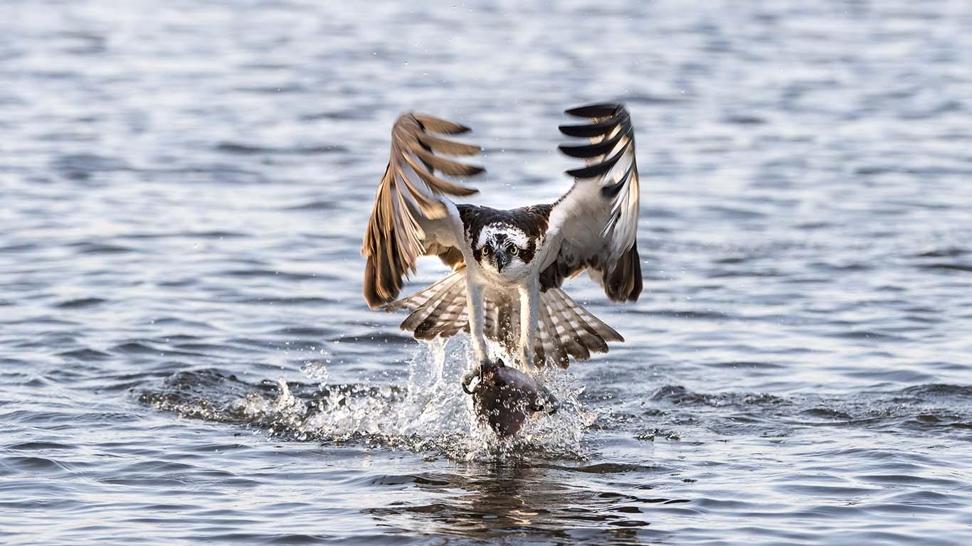 Jagande fiskgjuse