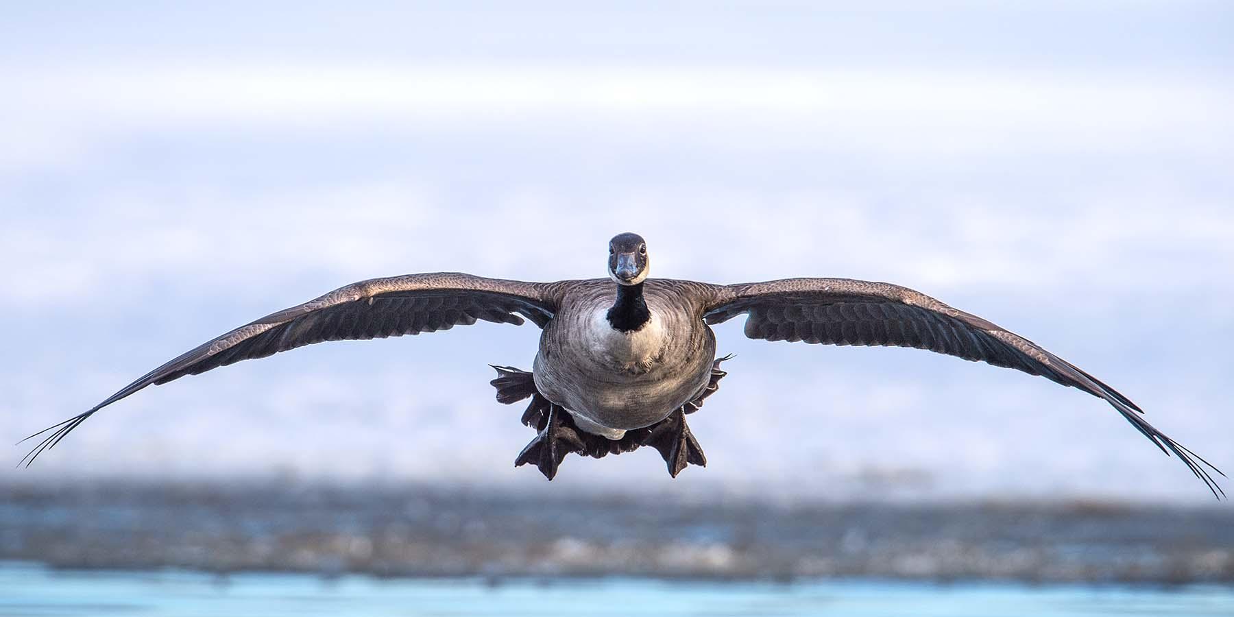 Grågäss och Kanadagås slåss om boplats.Fotografera fåglar
