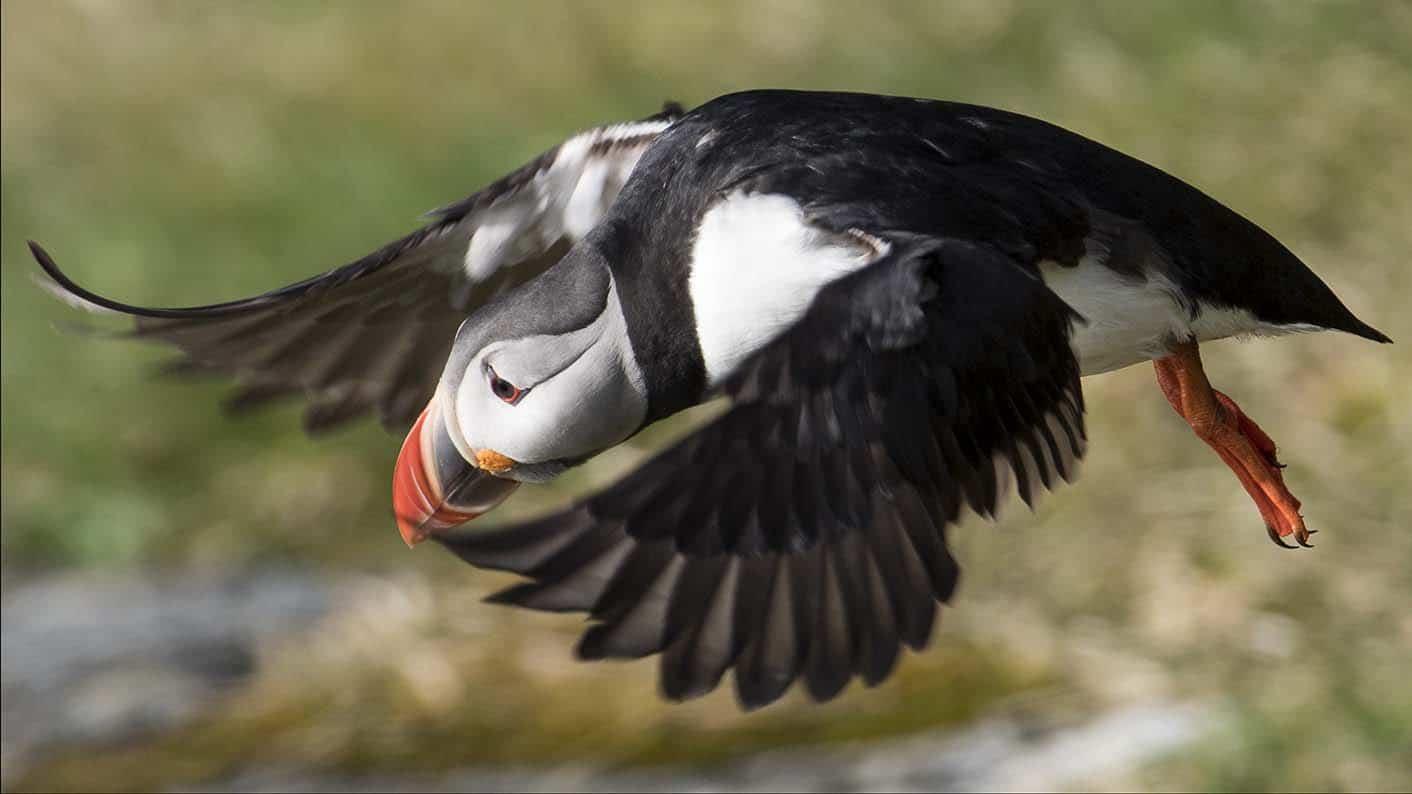 Flygande linnefågel