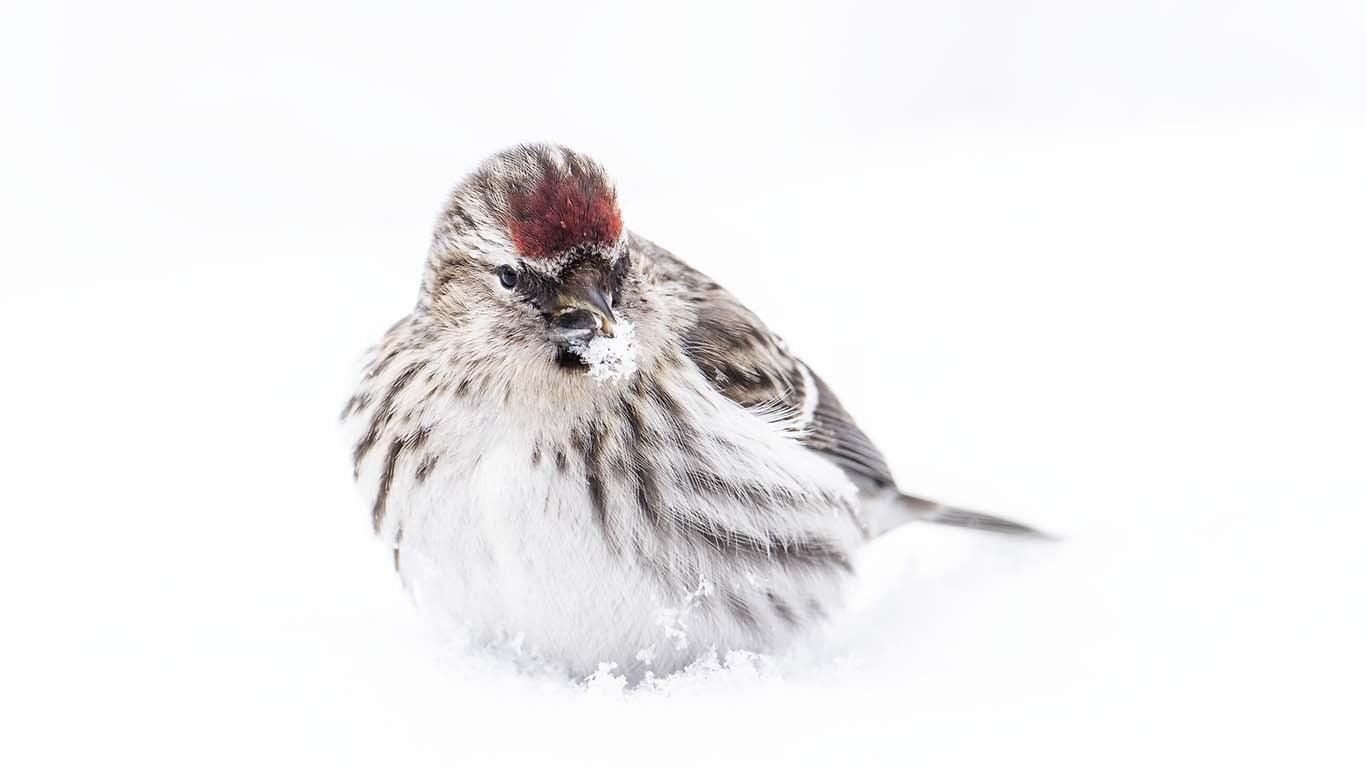 Gråsiska i snö © Foto Roger Vikström