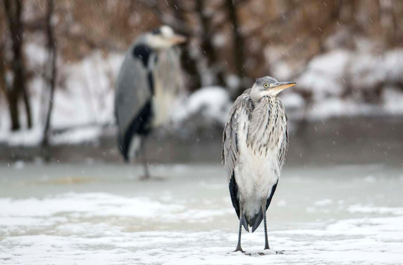 Hägrarna Vid Råstasjön