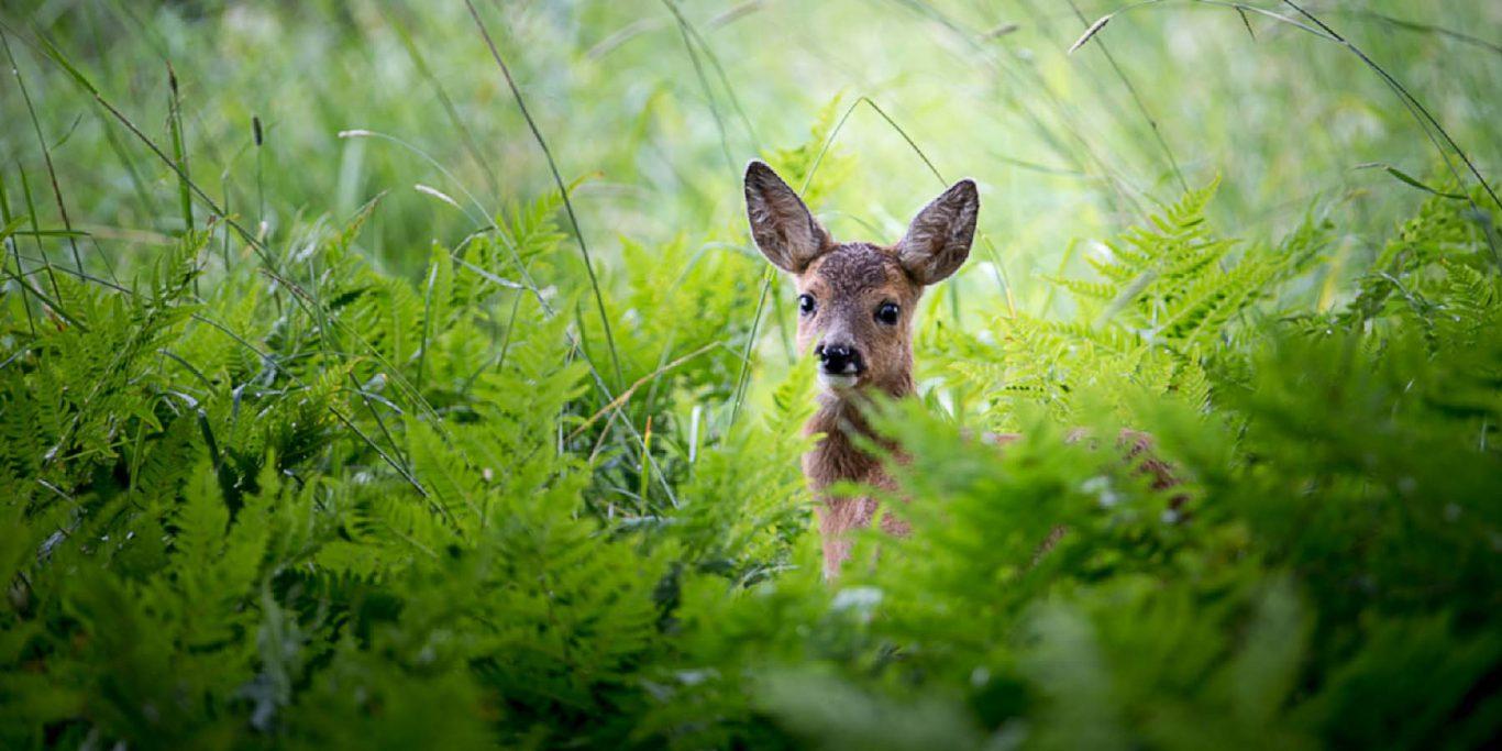 Rådjurskid © Photo Roger Vikstrom