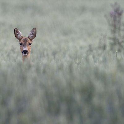 Rådjur med kid © Photo: Roger Vikstrom