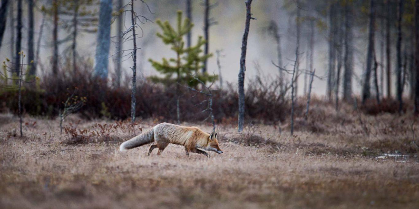 Räv © Photo Roger Vikstrom