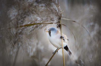 Skäggmes © Photo Roger Vikstrom