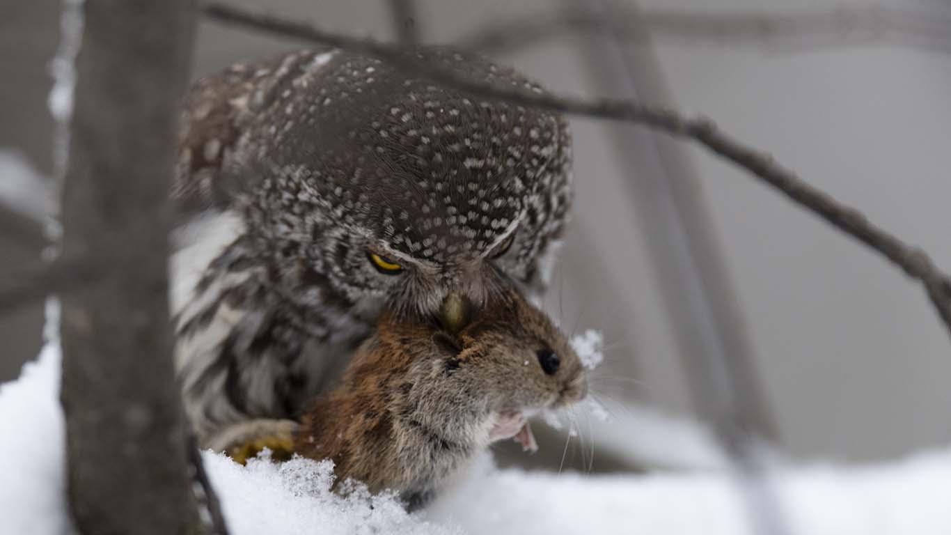 Sparvugglan vår minsta uggla med en mus i näbben