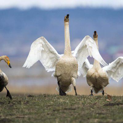 Whooper swan © Photo Roger Vikstrom