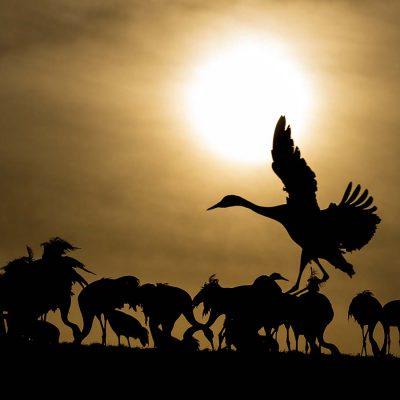 Crane (Grus grus) © Photo Roger Vikstrom