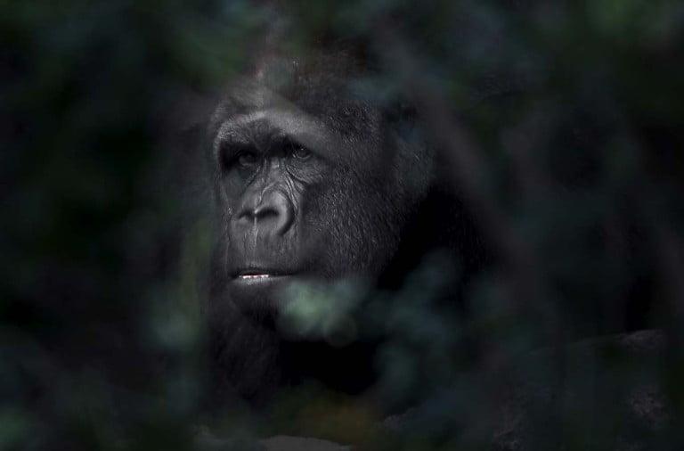 Naturbilder som gör skillnad.Vilda djur hör hemma i det vilda.Gorilla i