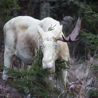 20151203 Vit älgtjur med ett horn Foto: Roger Vikström