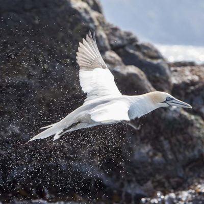 Havssula © photo: Roger Vikstrom