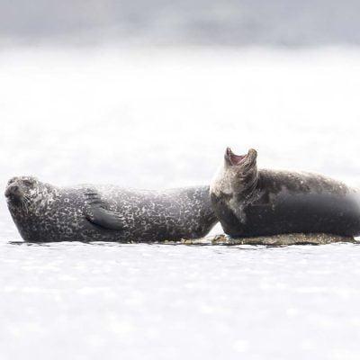 Hamnsäl vid Runde © photo: Roger Vikstrom