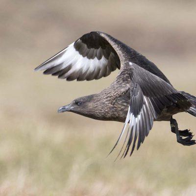 Flygande storlabb © photo: Roger Vikstrom