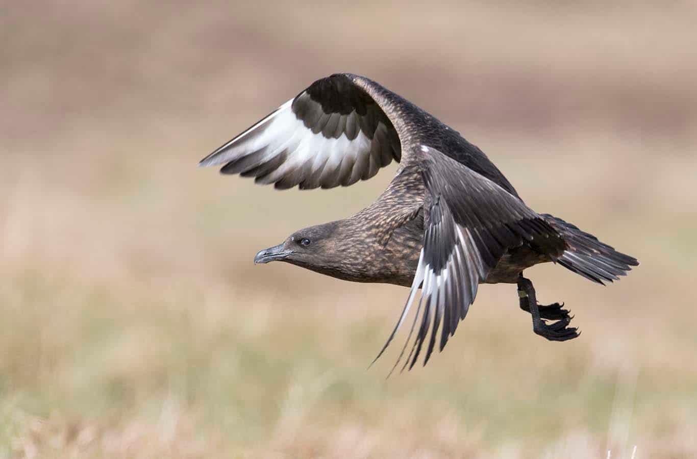 Flygande storlabb