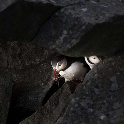 häckande linnefåglar i bohåla © photo: Roger Vikstrom