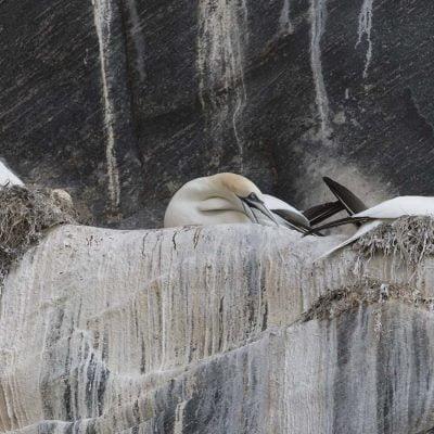 Häckande havssulor fågelberget Runde © photo: Roger Vikstrom