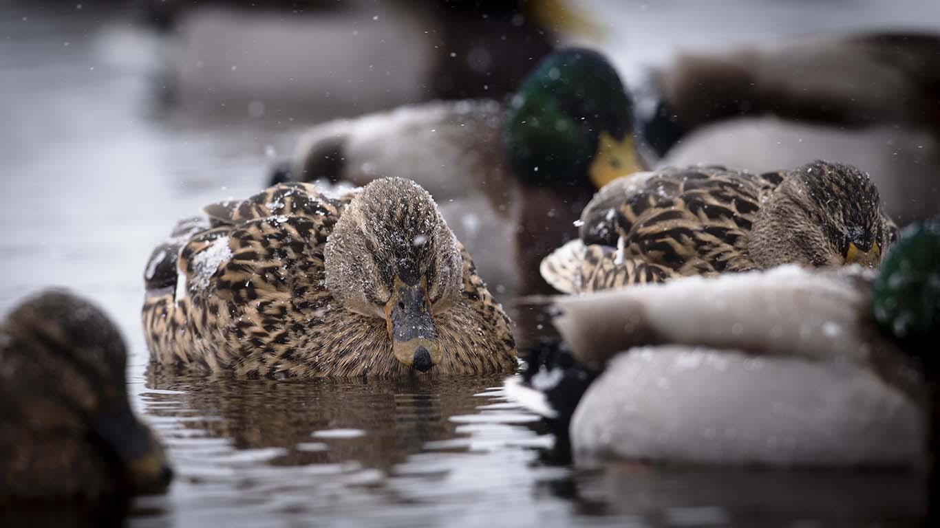 att fotografera sjöfågel som gräsänder