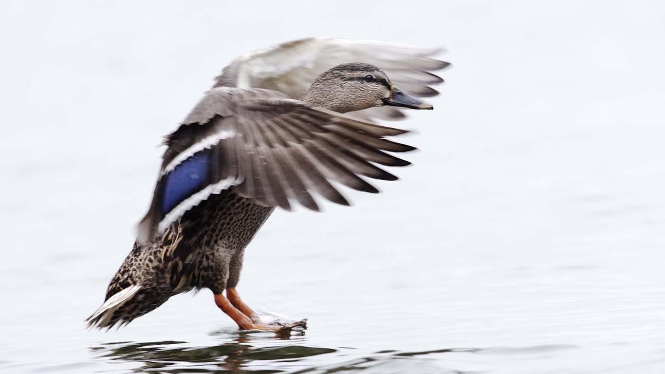 att fotografera sjöfågel Gräsand med vingar som flaxar