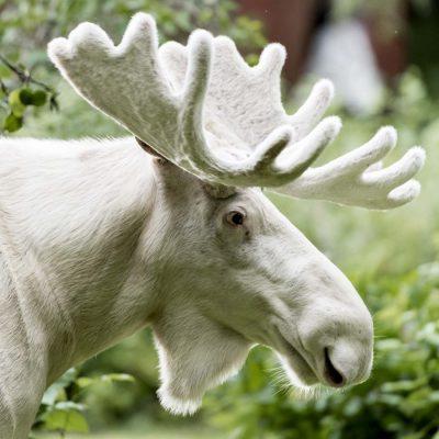"Vit Älg ""Sprit Moose © Photo: Roger Vikstrom"