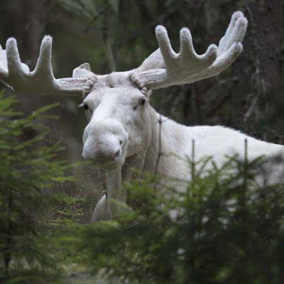 "Vit Älg ""Sprit Moose"" © Photo: Roger Vikstrom"