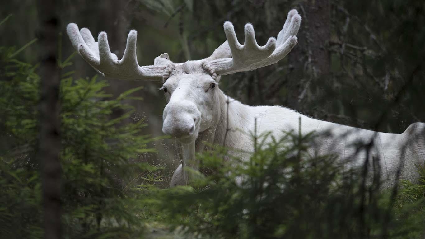Bilder med eller utan glas, Spirit moose Vit Älg
