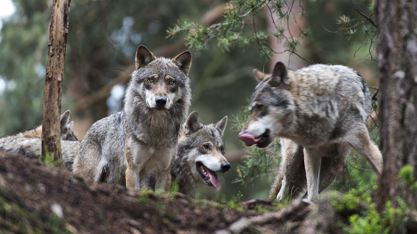 Vargar i flock