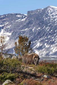 dovrefjell och sunndalsfjella nationalpark © Foto: Roger Vikström
