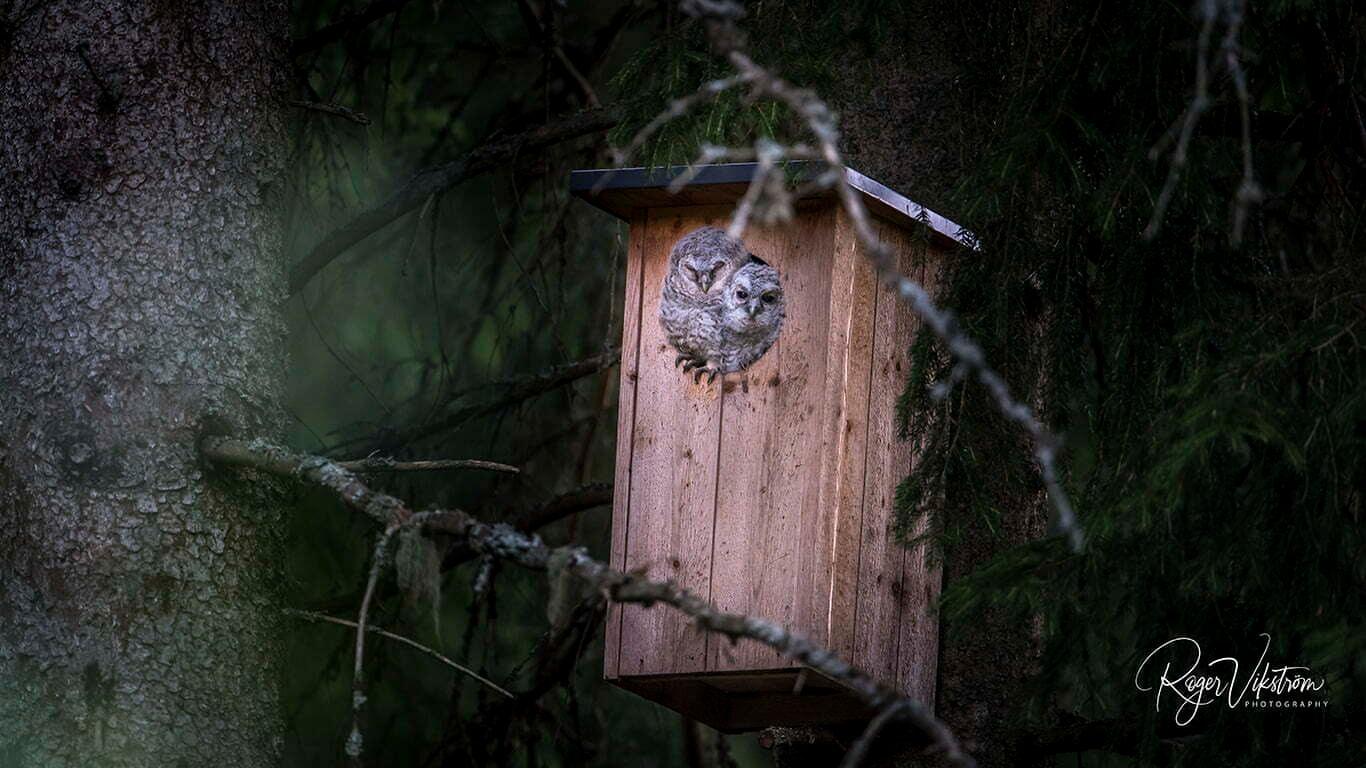 nattrovfågel, ugglor i holk