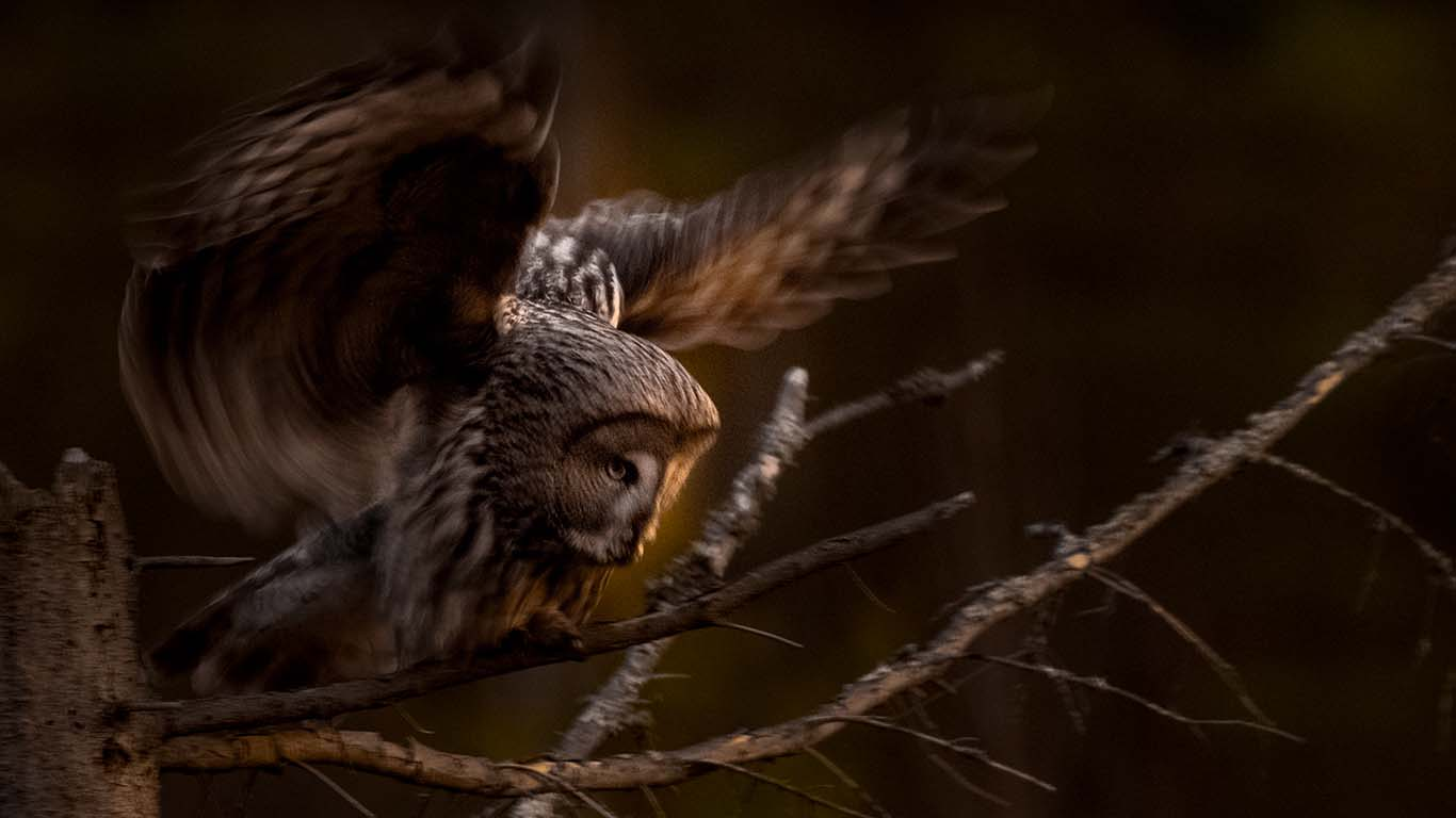 flygande lappuggla