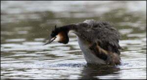 Sjöfåglar, Skäggdopping