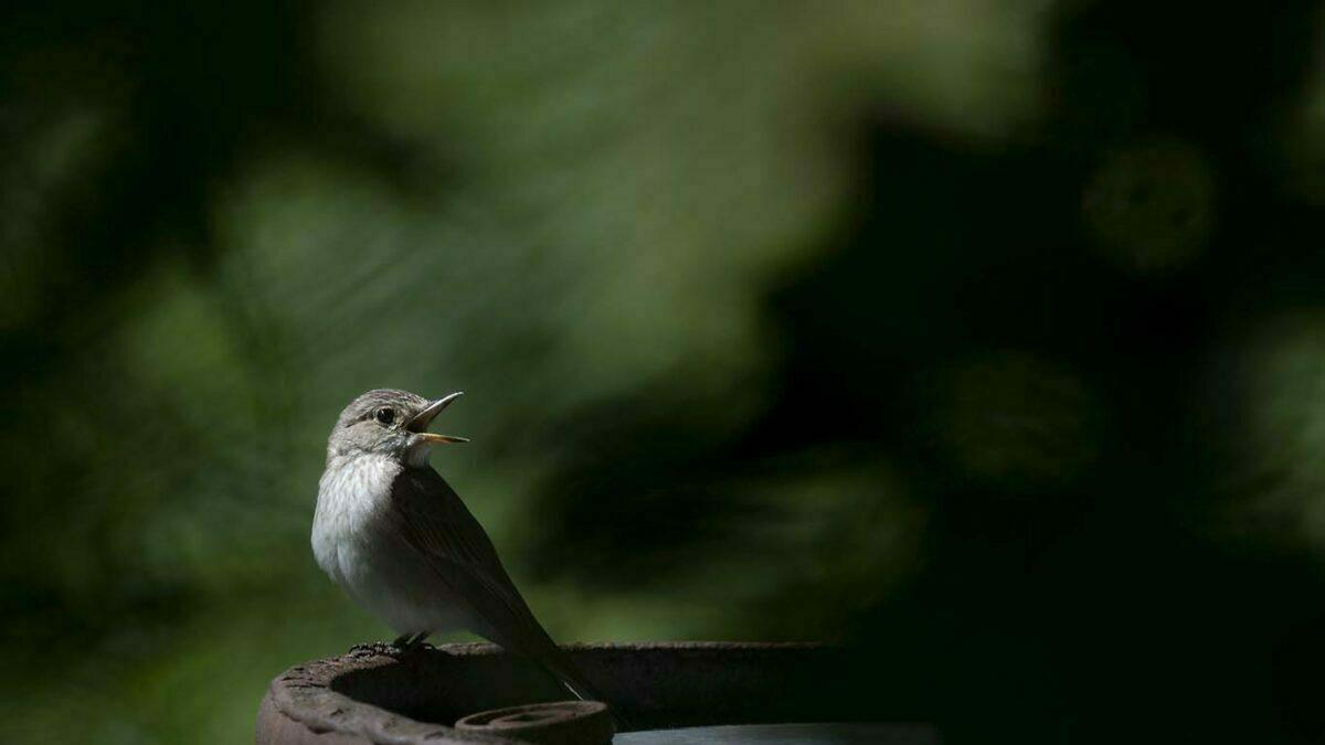 Småfåglar i din närhet,flugsnappare