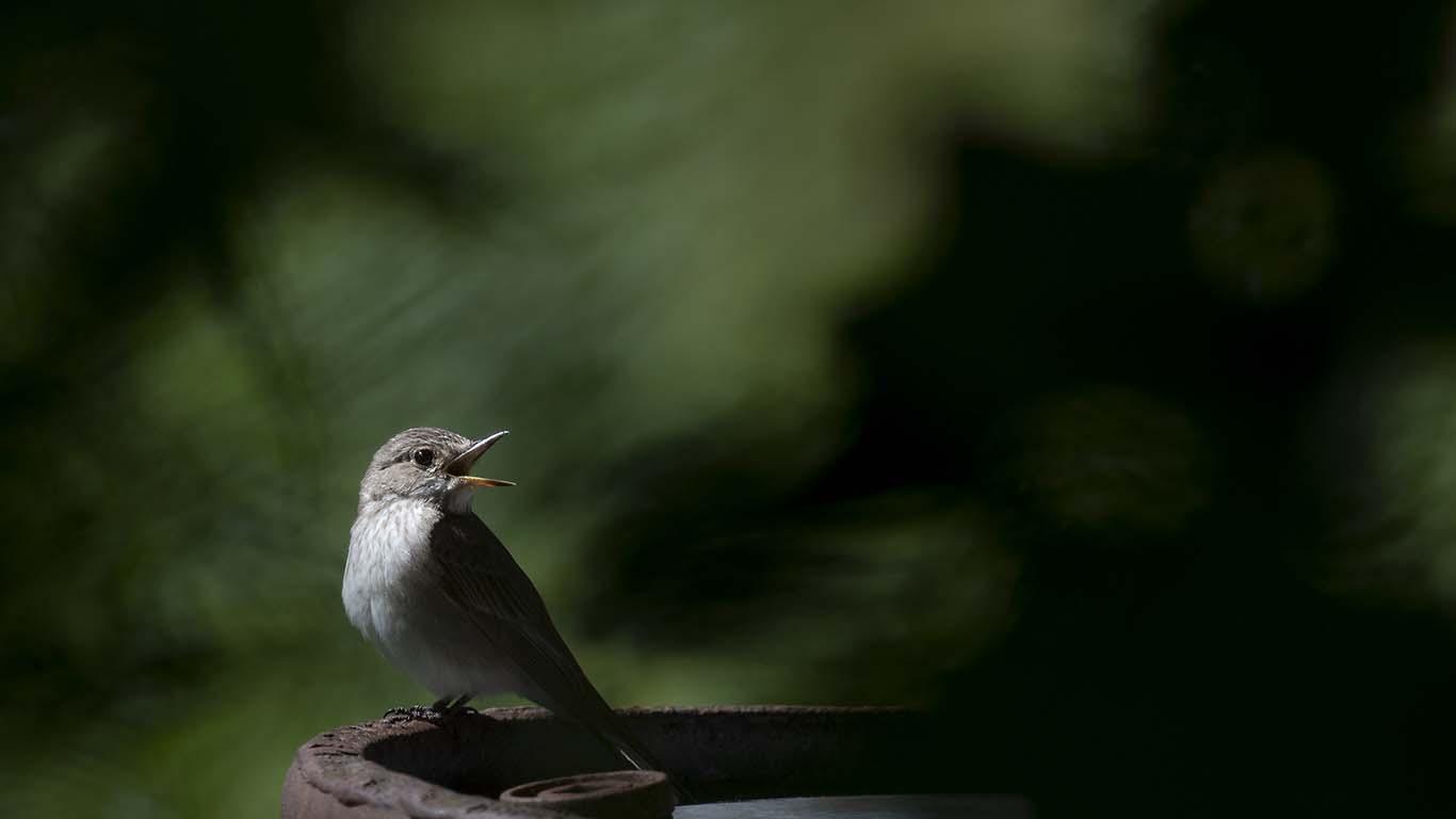 Grå flugsnappare
