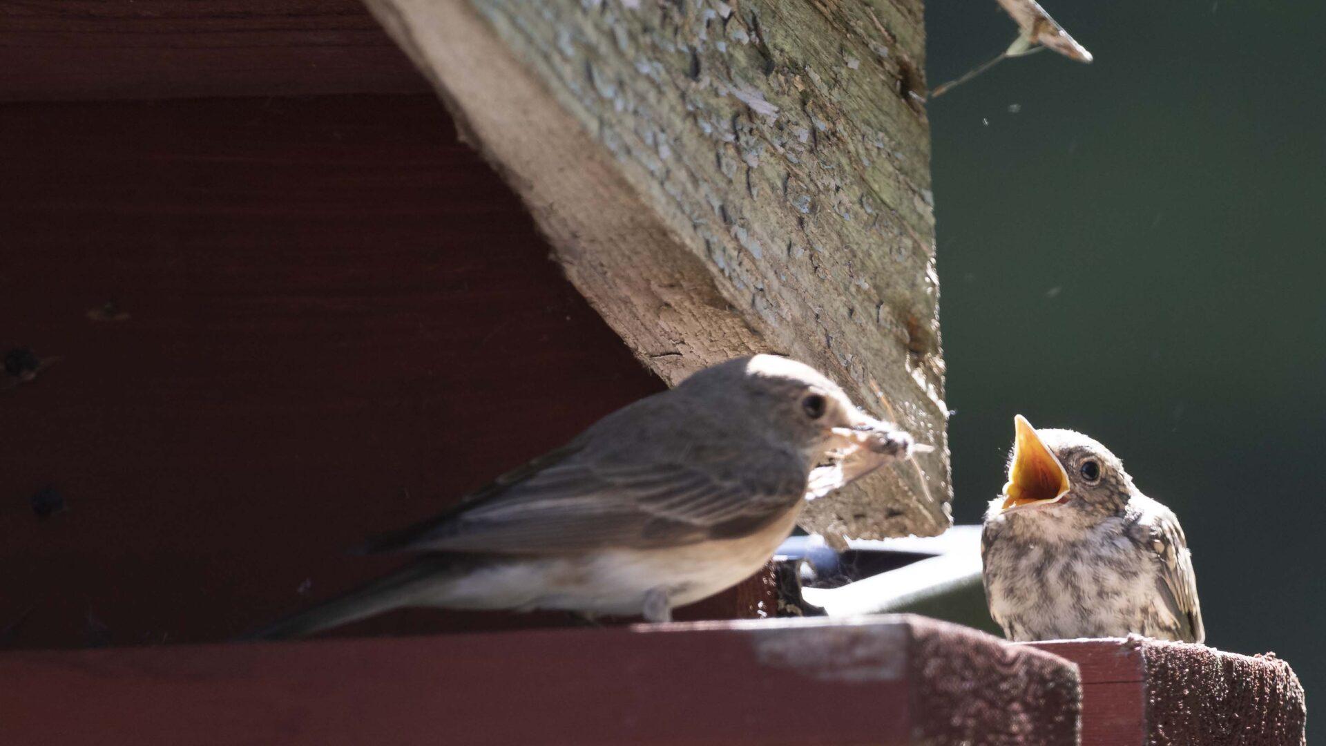 Den grå flugsnapparen matar sin unge som snart lämnar boet