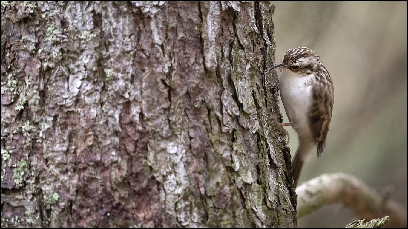 Certhia familiaris / Trädkrypare. Höstens alla fåglar