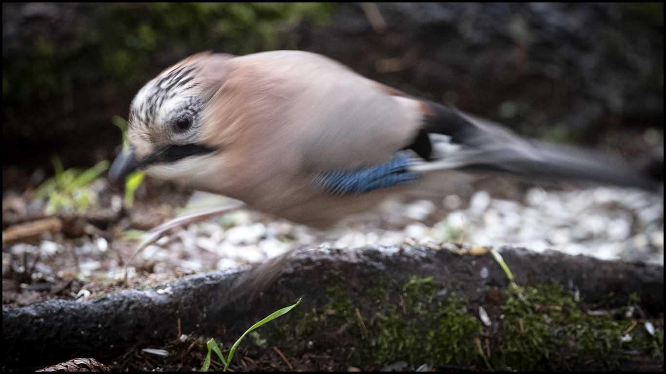 Bilder på vanliga Svenska fåglar