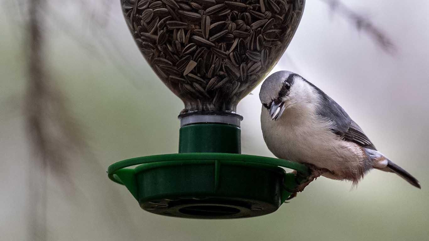 Bilder på vanliga Svenska fåglar,