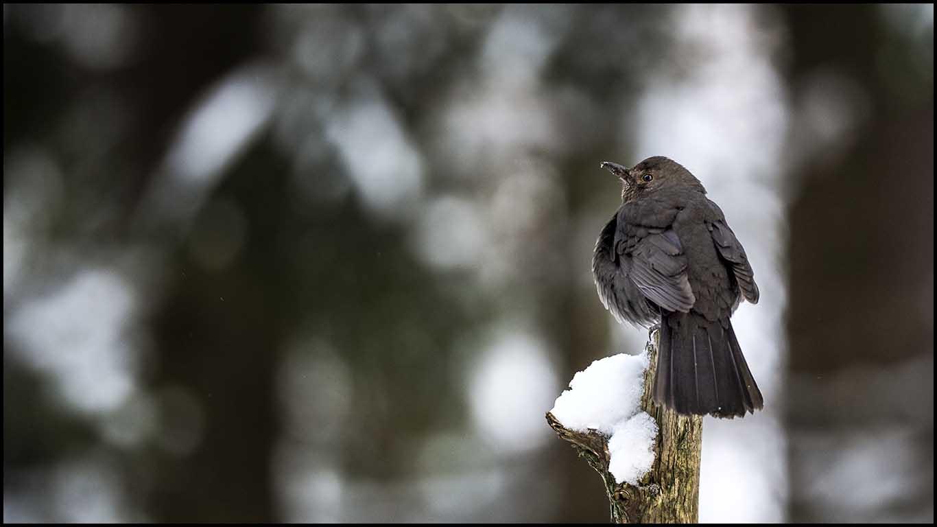 Sveriges nationalfågel, koltrasten