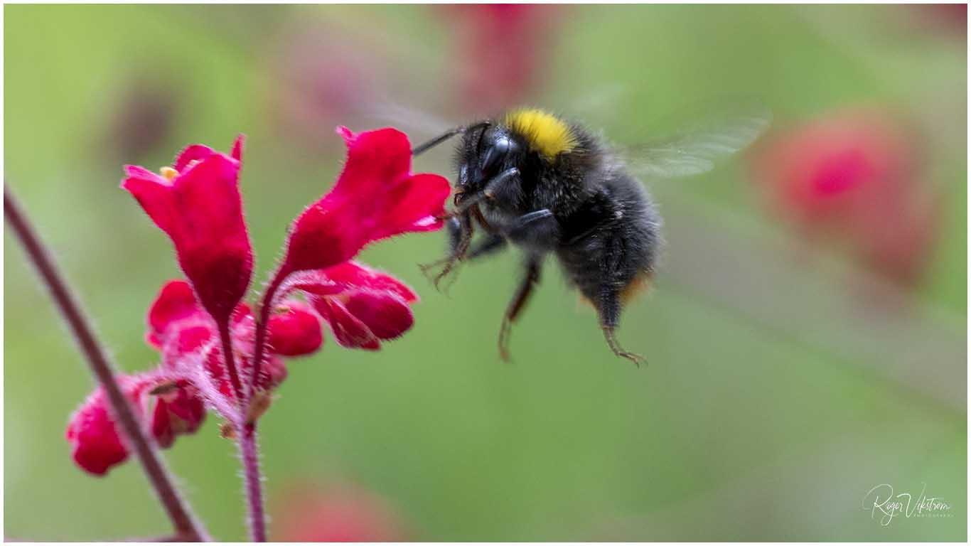 Bekämpningsmedel hotar Pollinatörerna, humla