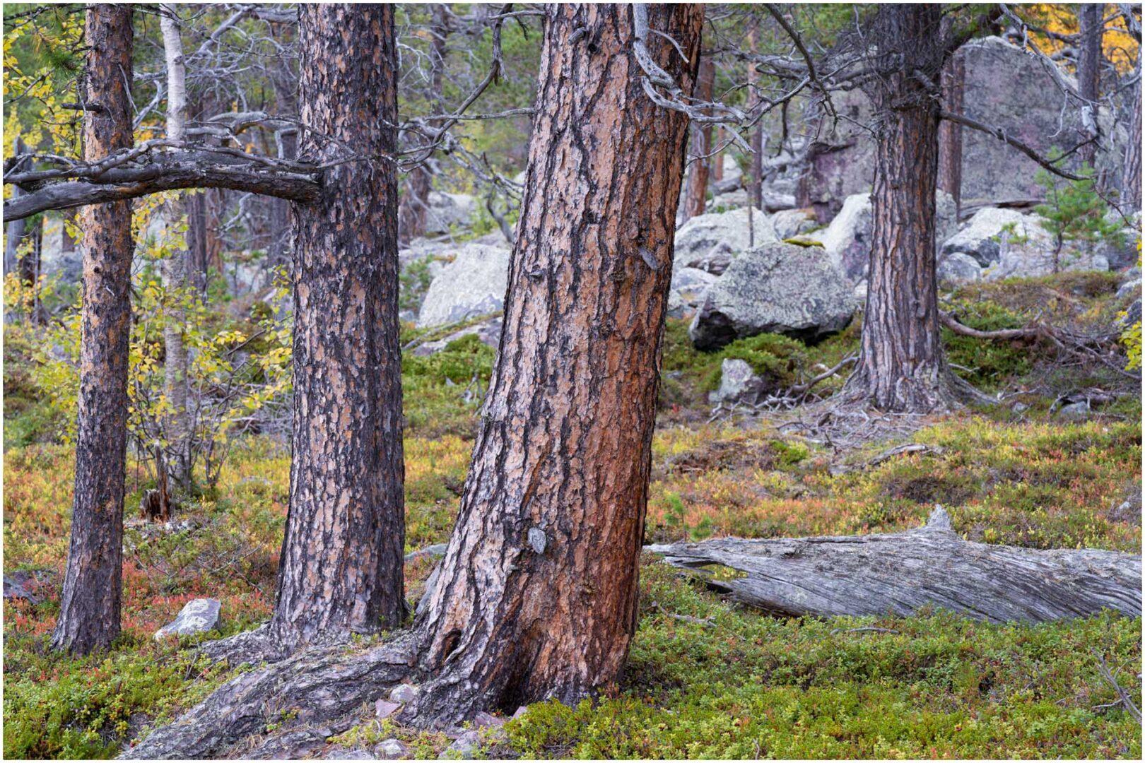 Riktig Skog