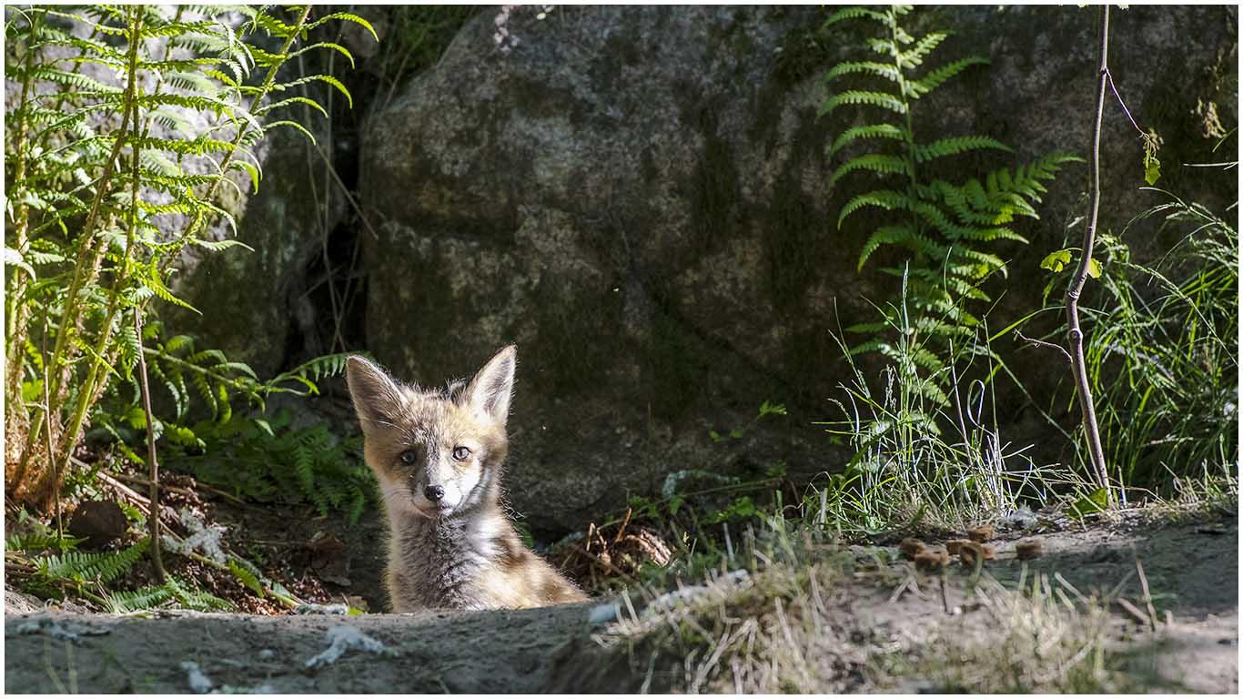 Väntan vid en rävlya i skogen