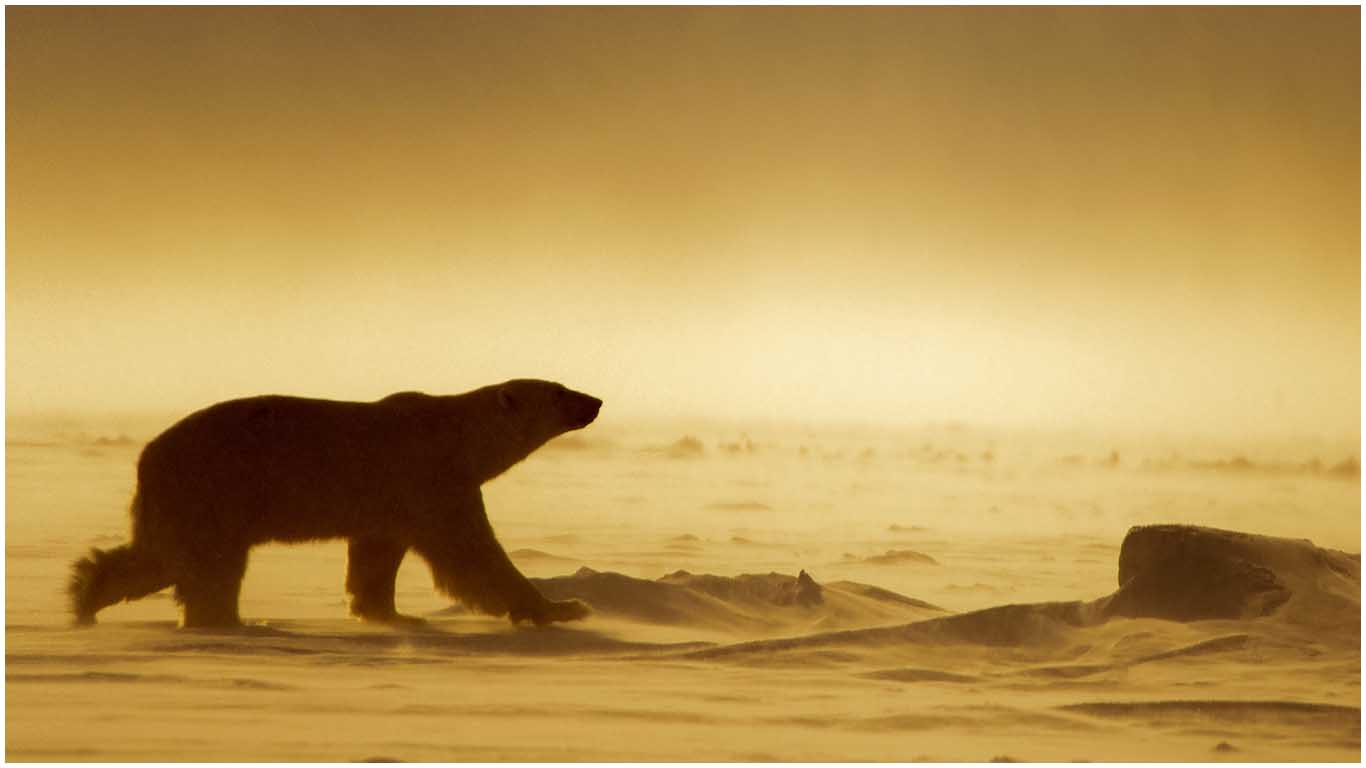 Isbjörnen i klimatets frontlinje