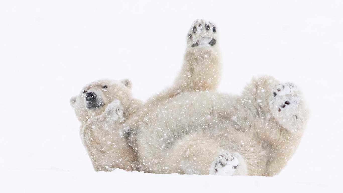 Isbjörnen i klimatets frontlinje. Isbjörn i Snö